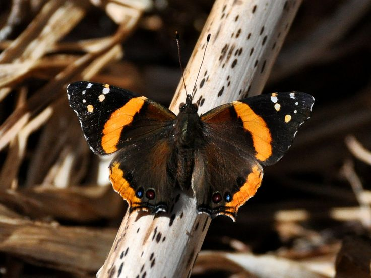 https://flic.kr/p/bvGyUL | Short-tailed Admiral butterfly (Antanartia hippomene) Dinsho Ethiopia | We saw lots of butterflies but in the hot weather very few seemed to settle, let alone hang around to be photographed.  I was staggered by the similarity of pattern to Red Admiral (Vanessa atalanta) , yet the wing shape is totally different.  They are in the same family though.  For a comparison try this link <a…