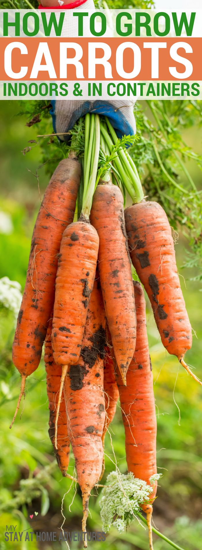 Can you grow carrot indoors? Yes, you can. Learn how it easy it is to grow carrots indoors and the benefits of growing carrots too. Follow these tips and you will be growing carrots in containers in no time! #gardening #Garden #Growsomethinggreen #DIY #Vegetable #carrots