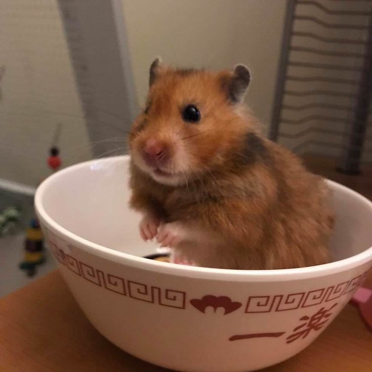 My hamster Peri is so photogenic I made an album of her best pics. Enjoy! #aww #Cutehamsters #hamster #hamstersofpinterest #boopthesnoot #cuddle #fluffy #animals #aww #socute #derp #cute #bestfriend #itssofluffy #rodents