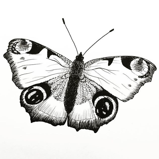 Here Is The Final Result Of My Peacock Butterfly Drawing Thank You Felicityandink For This Challenging Challenge Have A Nice Weekend Butterfly Drawing Drawings Peacock Butterfly