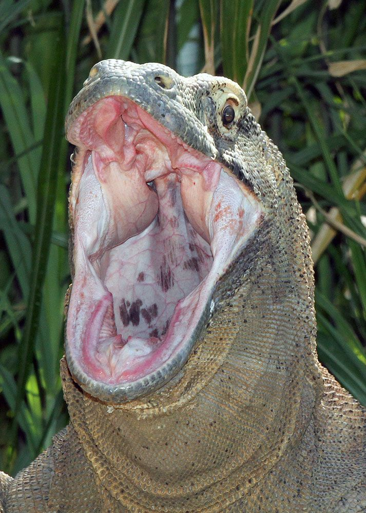 Monitor Lizard Mouth | ... komodoensis Komodo dragon with mouth open (Captive, Fort Worth Zoo