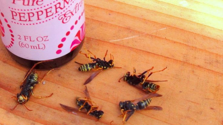 Wasps can be nasty little creatures to have around the homestead, but how do you get rid of them without using toxic chemicals? Using a mixture if water, dishwasher soap, and peppermint oil you can control existing nests and discourage future colonies.