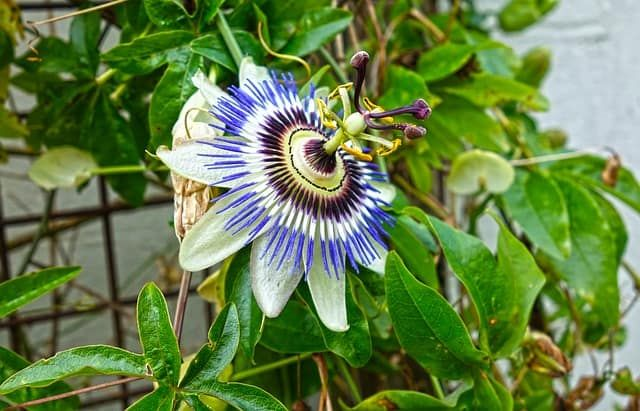 How To Grow Passion Flower Growing And Caring For Passion Flowers In 2020 Passion Flower Plants Growing Flowers