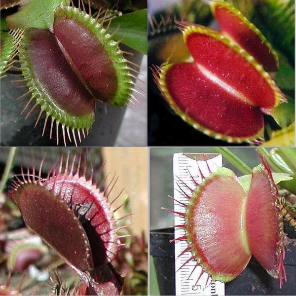 Семена, саженцы ВЕНЕРИНА МУХОЛОВКА (Dionaea muscipula) МИКС