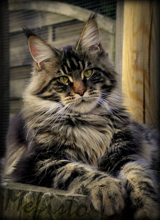 Mefisto 16 m. old ©Shedoros Maine Coon Cattery