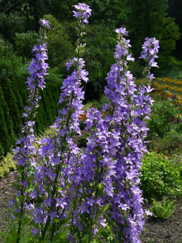 Chimney Bellflower This Variety Of Campanula Can Grow Up To Over 5 Tall It Features Bell In 2020 Tall Perennial Flowers Long Blooming Perennials Flowers Perennials
