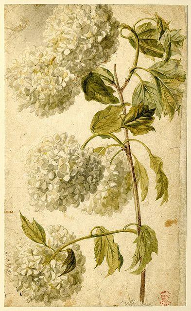 hydrangea botanical  (lovely)