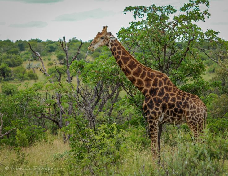 Mosaic - Giraffes are the tallest mammals on Earth. Their legs alone are taller than many humans—about 6 feet. They can run as fast as 35 miles an hour over short distances, or cruise at 10 mph over longer distances. A giraffe's neck is too short to reach the ground.