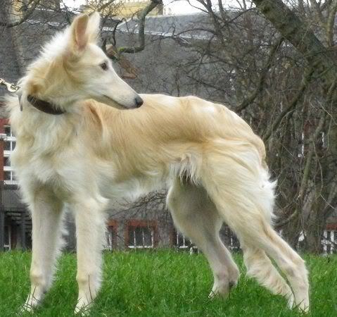 I don't think I could ever buy from a breeder when there are so many rescued dogs that need adopting, but these Silken Windhounds are really lovely