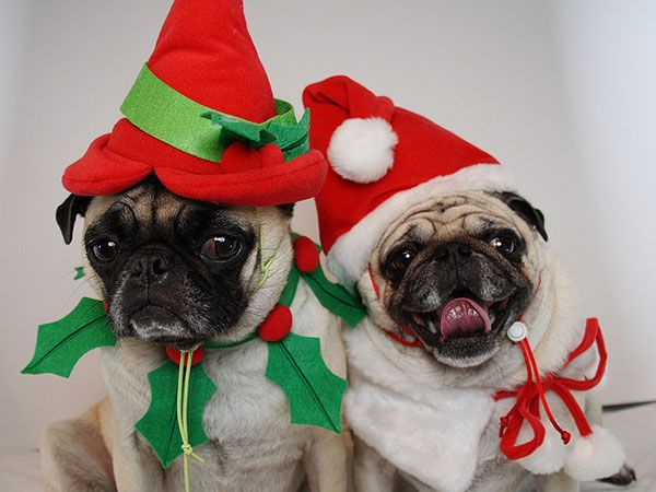 Funny Christmas Backgrounds | 25 Funny Pug Pictures To Lighten Your Mood - SloDive