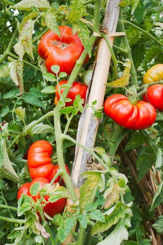 Co jste neveděli o rajčatech