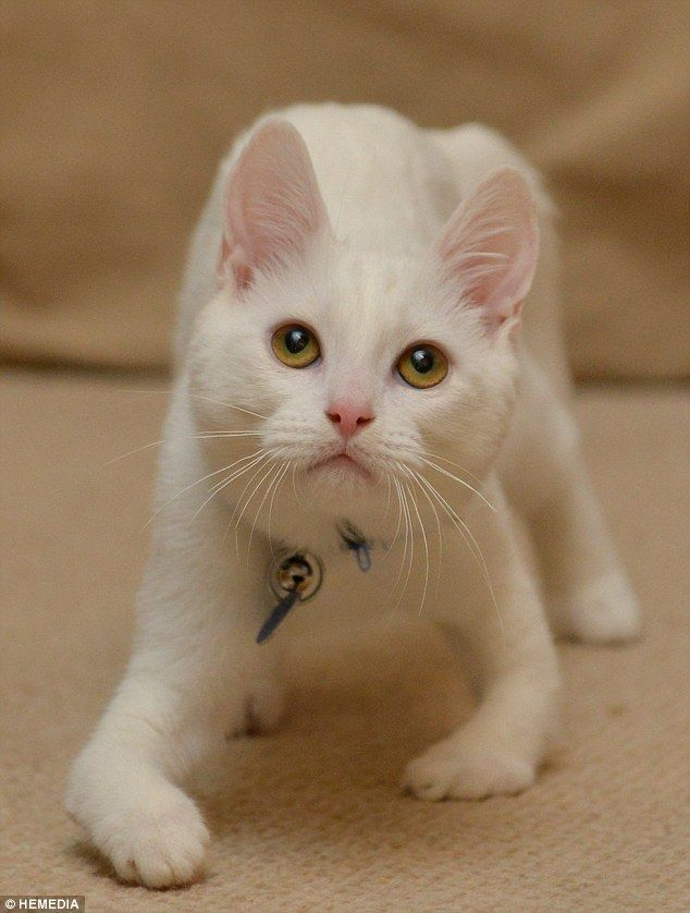 this cat was born without bones in his two front limbs and walks on his elbows.