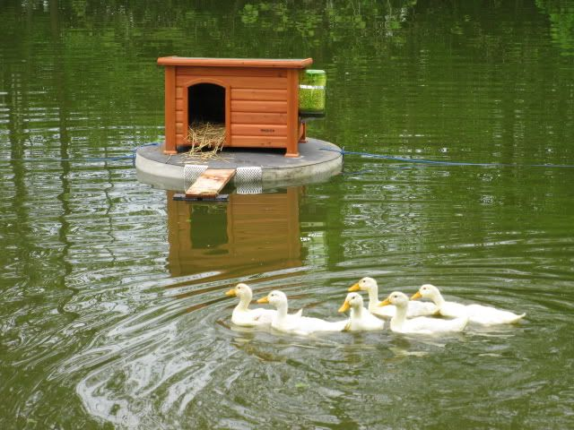 duck houses on ponds | Here's a pic of the duck house floating on the pond, with them in ...