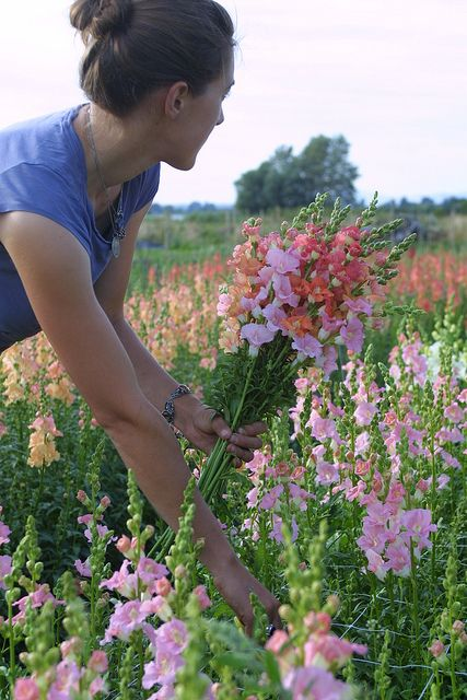harvesting Chantilly Snapdragons:bronze,light pink and light salmon by Erin Benzakein / Floret Flower Farm, via Flickr