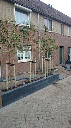 Leibomen in voortuin aangeplant