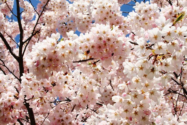 Gambar Bunga Sakura Hanami