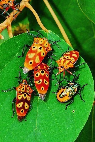 Mallotus shield bugs (Cantao ocellatus)   Singapore -  ©tiomanese/Yixiong Cai