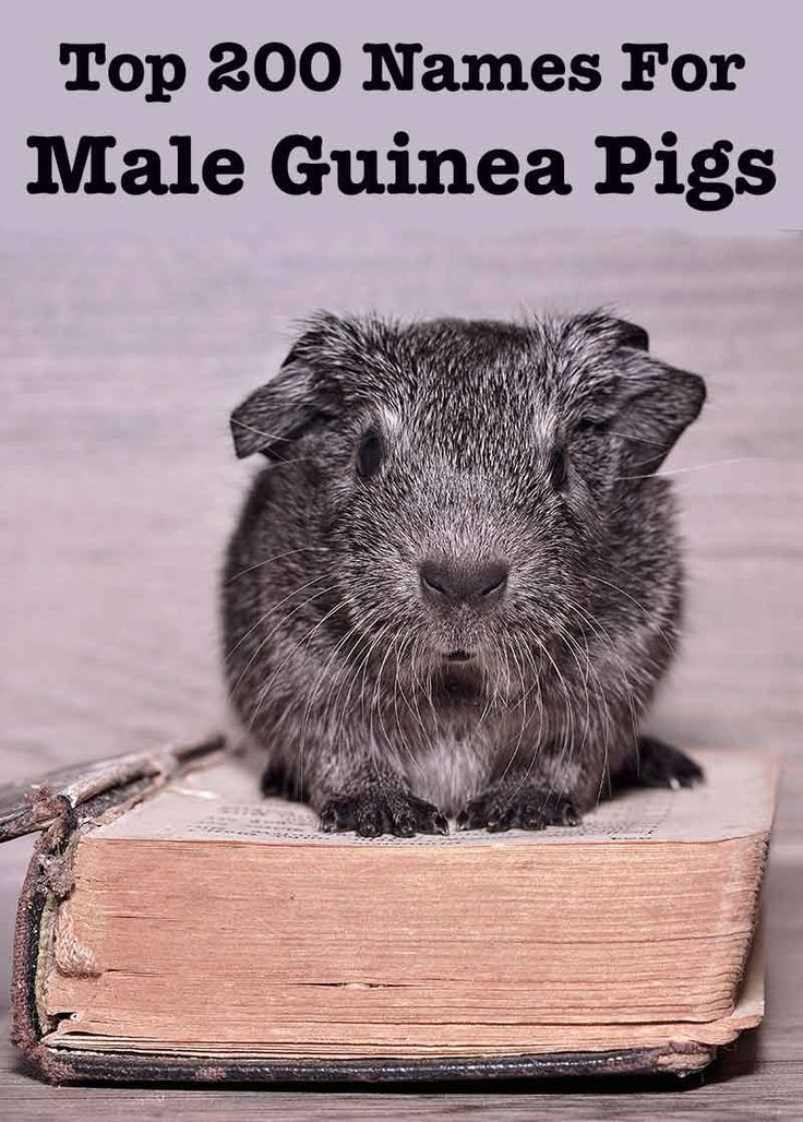 Best Male Guinea Pig Names Guinea Pigs Guinea Pigs Guinea Pig