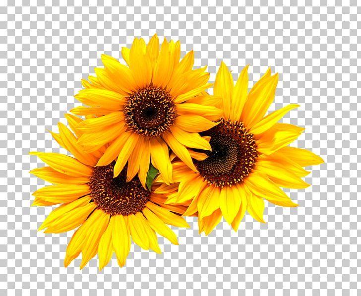 Wedding Invitation Common Sunflower Yellow Png Black Black And White Blue Brid Cartoon Sunflower Png Flower Png Images White Flower Png
