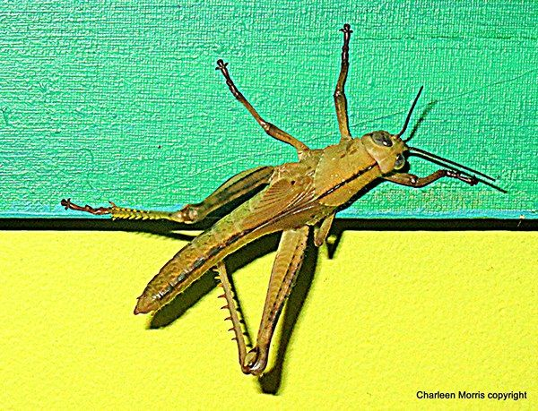 Gold Coast grasshopper drops in... by Charleen Morris, via Behance