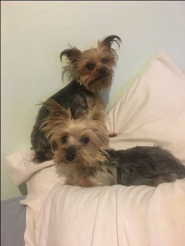 Yorkshire Terrier dog for Adoption in SAINT LOUIS, MO. ADN-26772 on PuppyFinder.com Gender: Female. Age: Adult