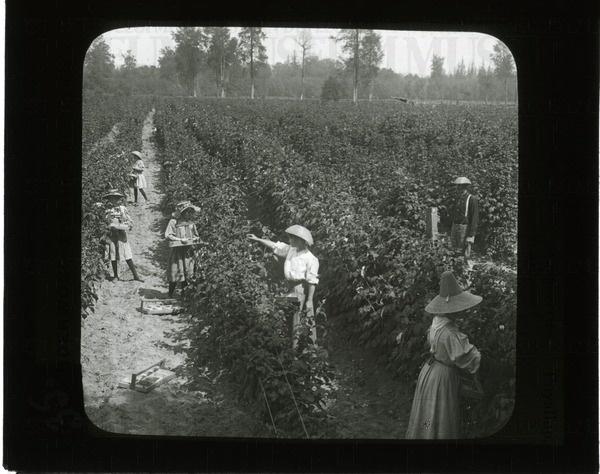 Picking red raspberries. Puyallup, Wash. | saskhistoryonline.ca