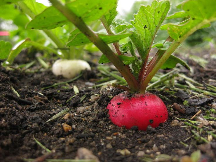 Radishes Herald the Arrival of Spring - Everybody Eats News