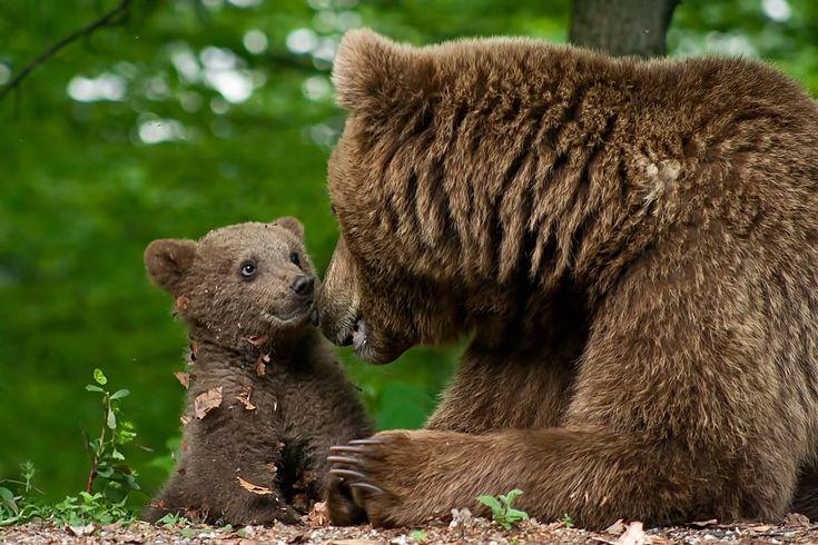 photo mama beruang dan anak beruang