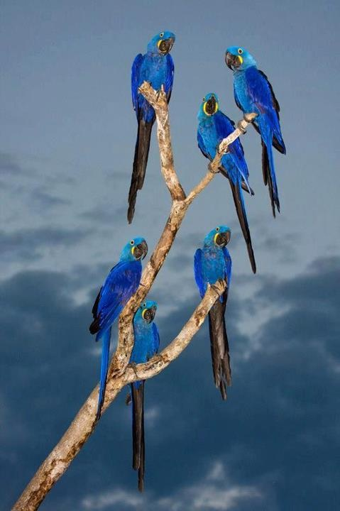 Hyacinth Blue Macaws