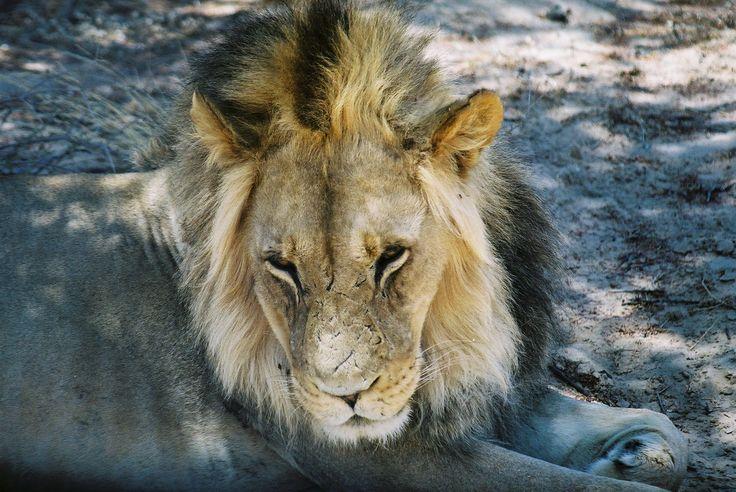 Lion King SA