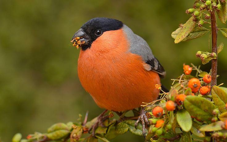 Aves En gran plano Camachuelo común Naranja Pyrrhula pyrrhula Animalia Aves En gran plano Camachuelo común Naranja Pyrrhula pyrrhula Animalia