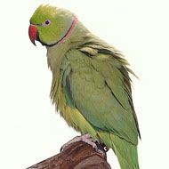 African Ring-Necked Parakeet profile