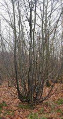 Coppicing/Pollarding - Midwest Permaculture - Alder, Ash, Beech, Birch (3-4 yr cycle), Hazel (7 yr), Willow but Sweet Chestnut, Hazel (7 yr), and Hornbeam are the most commonly coppiced tree species currently. cut during the winter before sap has risen