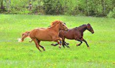 Horses gallop stock photo