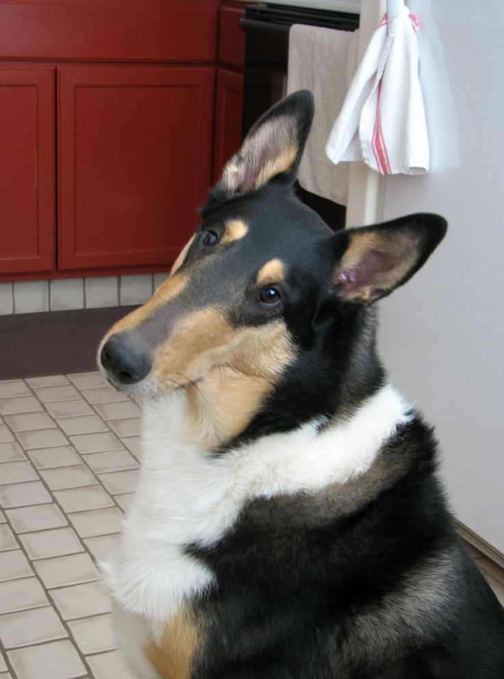 Dylan-TriColor Smooth Collie. He is very curious and smart!
