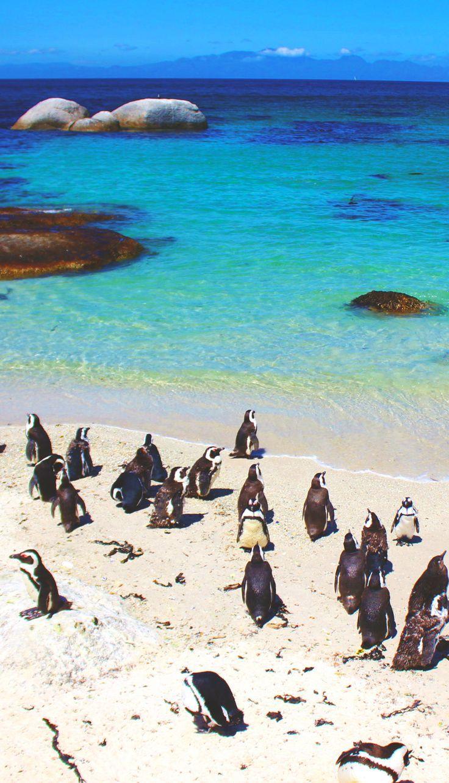 Pinguins na  Boulders Beach, pertinho de Cape Town, na África do Sul: vale a viagem!