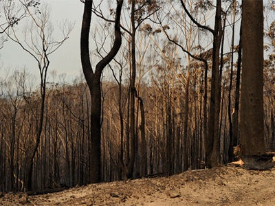 Burnt trees from the Deans Gap fire are shown near Nowra on January 9, 2013.
