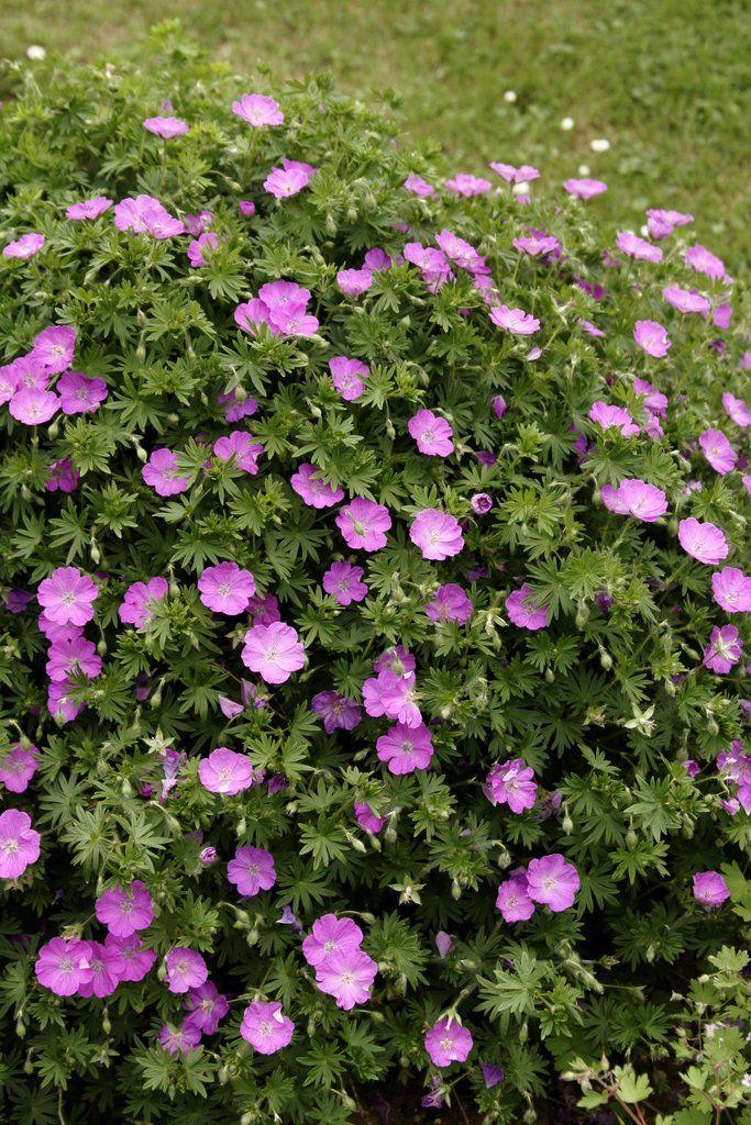 Géranium vivace Géranium sanguin ( Geranium sanguineum )
