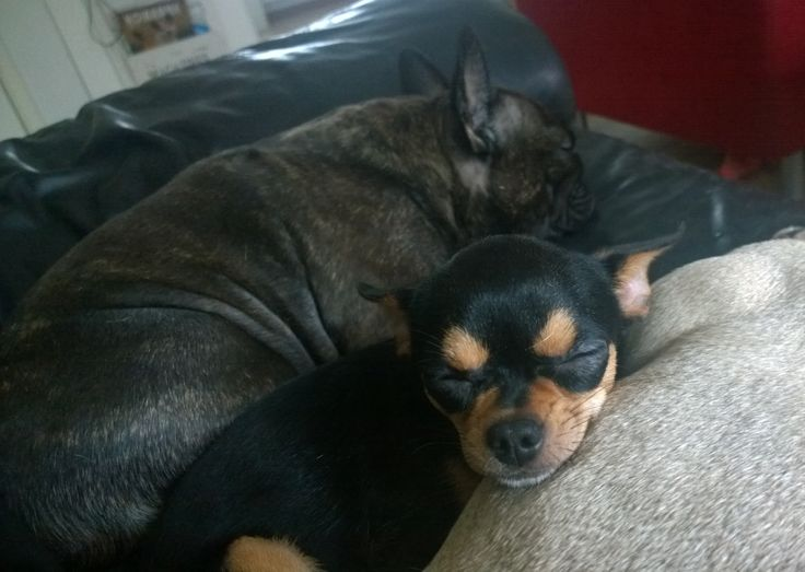 Every chihuahua should have a Frenchie pillow ❤