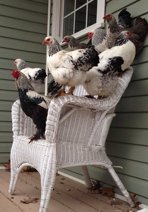 This is a cute photograph but we all know what happens to furniture when chickens sit on them ;-)