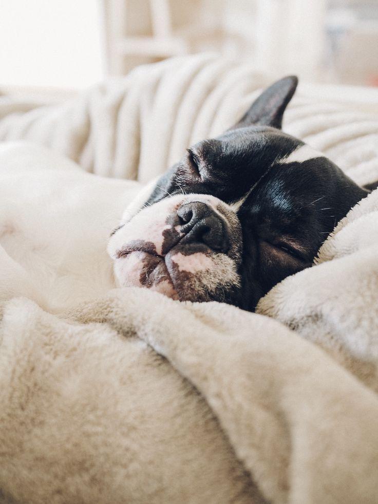 French bulldog bull mastiff french bulldog boston terrier