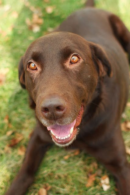 Chocolate Lab pound dog..... Those eyes....they are the most sensitive expressive eyes.