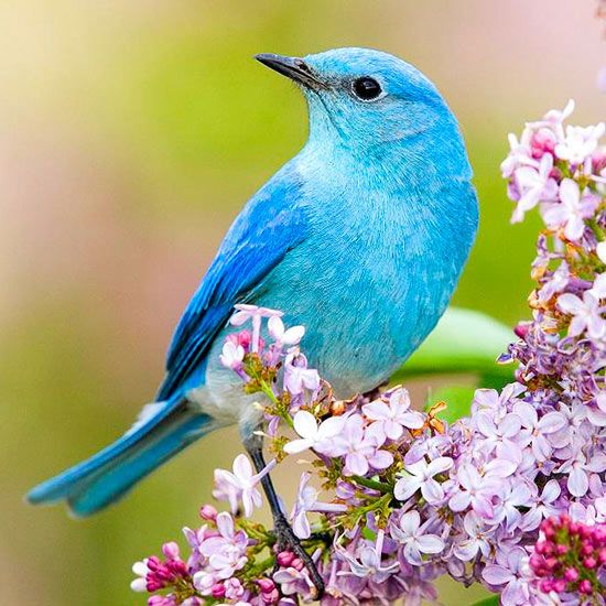 Backyard Birds: 12 of Our Favorites. Learn to recognize our roster of favorite feathered friends. Written by Sally Roth. Photography by Maslowski Productions. Photo: Mountain Bluebird. http://www.bhg.com/gardening/design/nature-lovers/backyard-birds/