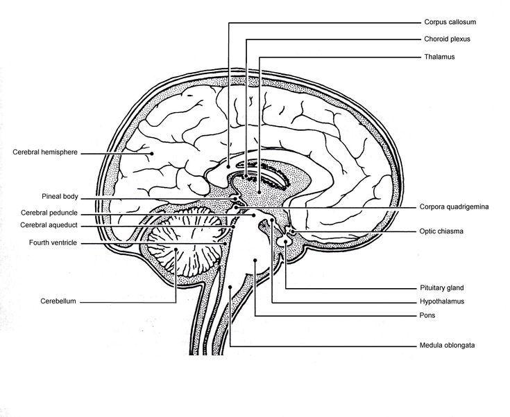 Sagittal View Of Human Brain Labeled Sagittal View Of Human Brain Labeled Brain Anatomy Human Brain Human Brain Diagram