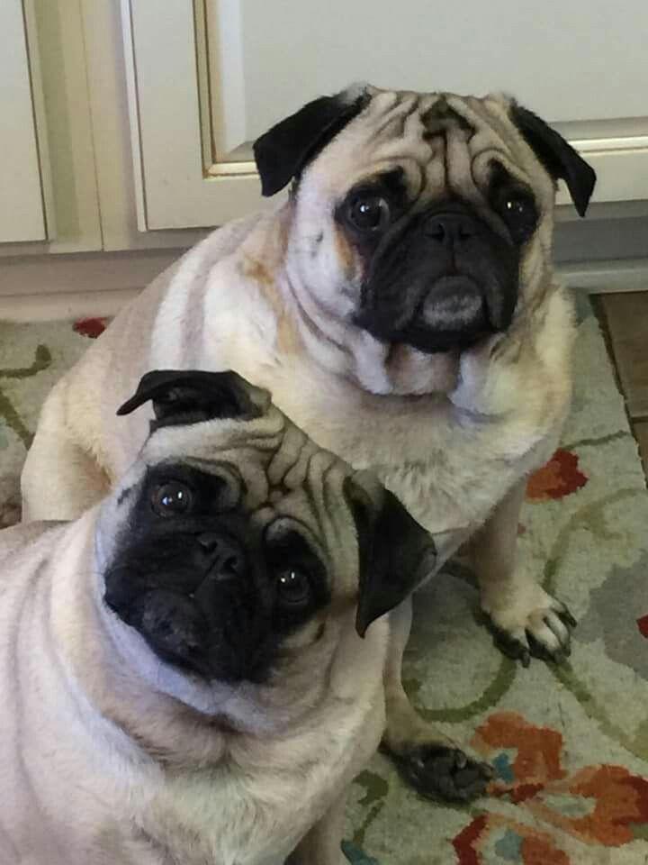 Austin And Allie Pug Cartoon Pug Puppies Dog Lovers