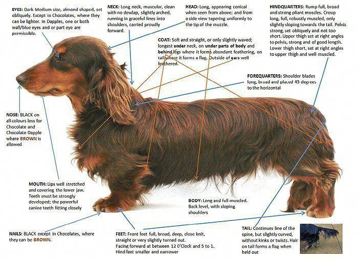 Discover The Spunky Daschund Pups Daschundsofinstagram