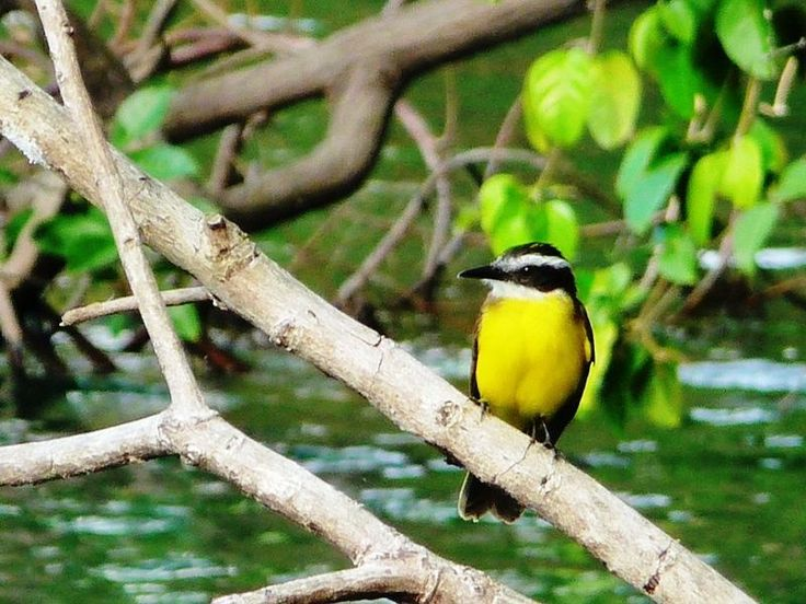 Great Kiskadee Gatun Lake. May 7 2009
