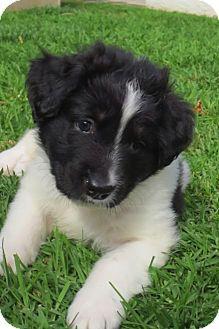La Habra Heights, CA - Australian Shepherd/Labrador Retriever Mix. Meet Dorian, a puppy for adoption. http://www.adoptapet.com/pet/15098957-la-habra-heights-california-australian-shepherd-mix