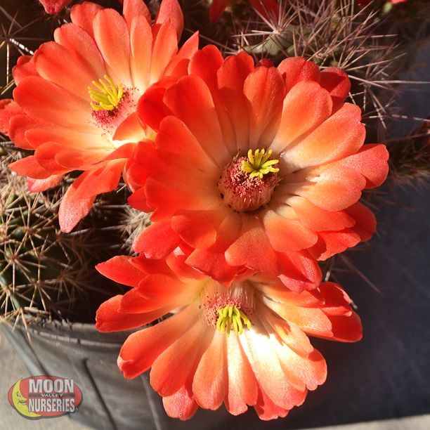 10 images about cacti agave succulents on pinterest arizona agaves and xeriscaping - Flowers that love full sun and heat ...