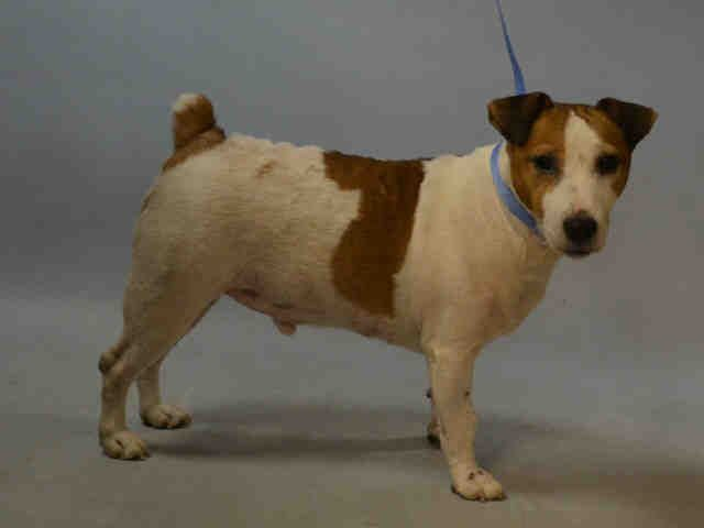 ZEUS - A1092430 - - Brooklyn  Please Share:TO BE DESTROYED 10/14/16 **NEW HOPE RESCUE ONLY**Zeus is a handsome seven year old Jack Russell Terrier mix that does not understand why everything he knew for seven years is now gone. Zeus was surrendered due to his former owner moving out of the country. Zeus is a smart and loyal JRT, his world is now shattered. Zeus lived with children, a large dog, and even two cats! His owner surrender describes a happy, friendly dog that live